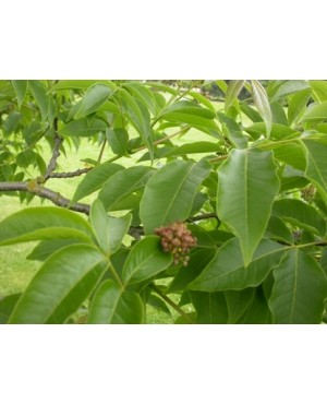 Phelodendron amurense