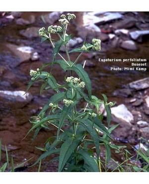 Eupatorium perfoliatum