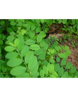 Phyllanthus spp